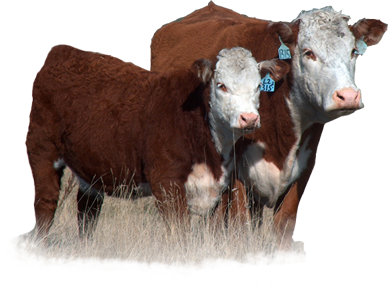Rausch Herefords